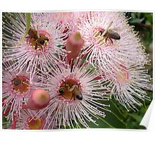The pink gum is blooming - and the bees are busy! Poster
