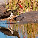 Black Stork, Kruger National Park, South Africa by Erik Schlogl