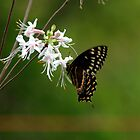 Black Swallowtail on Wild Azalia by freevette