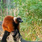Red Ruffed Lemur by Vac1