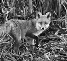 Fox Hunting A Reedbed by Nigel Tinlin