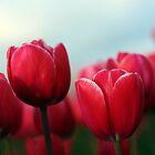 Tulips by AngieBanta