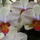 Orchids I - Orquídeas by Bernhard Matejka
