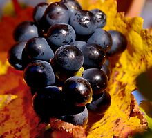 Grapes in waiting ..  by jodik75