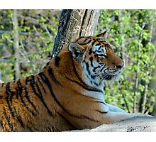 Shere Khan Photographic Print