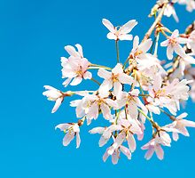 Blossoms with the blue sky by Eric Tsai