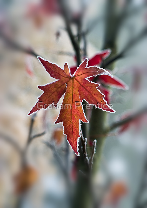 Maple In Frost by Graham Prentice