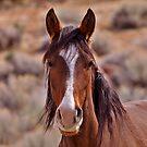 Wild Horses of Northern Nevada by SB  Sullivan