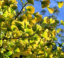 Ginkgo Leaves In Autumn by Susie Peek