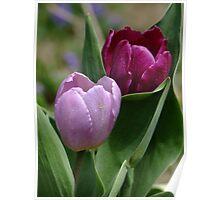 Pink and Fushia Tulips Poster
