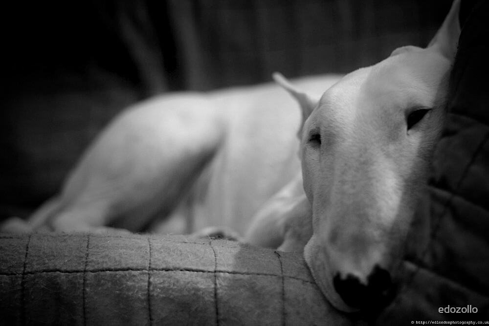 white english bull terrier by edozollo