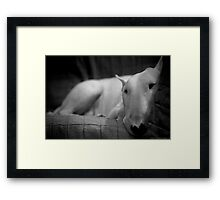 white english bull terrier Framed Print