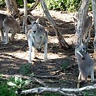 Grey Roos by Hannah Ruth