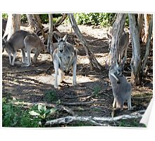 Grey Roos Poster