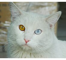Blue-Brown Eyed Cat Photographic Print