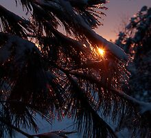Frosted white pine by Chris Kiez