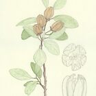 Lagunaria patersonia  2003 by Wendy Sysouphat
