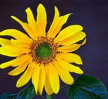You are My Sunshine  by Saija  Lehtonen