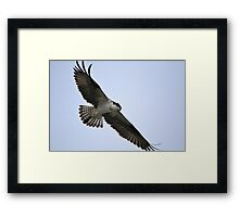 Osprey hunting Framed Print