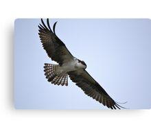 Osprey hunting Canvas Print