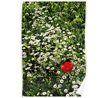 Ox-eye and Poppy Poster