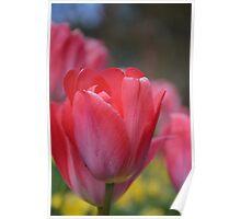 Tulips from Botanic Gardens in Belfast Poster