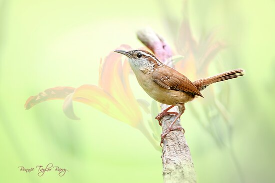 Carolina Wren in Early Spring by Bonnie T.  Barry