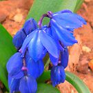 Bluebells bloom by Christine Ford