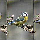 The Many Poses of a Blue tit by Michael G Devereux