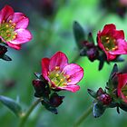Saxifraga by Anthony  Poynton