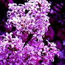 Lovin Lilacs by Christine Ford