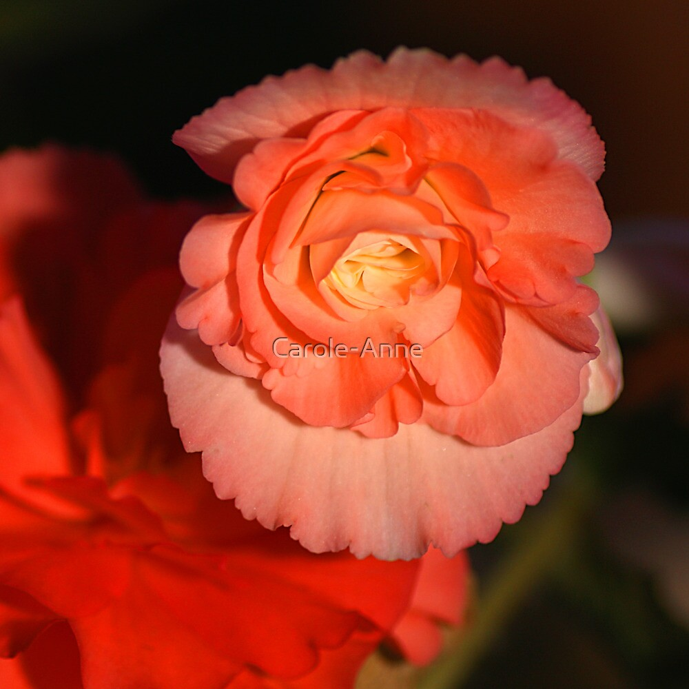 Strongly Pink - Tuberous Begonia by Carole-Anne