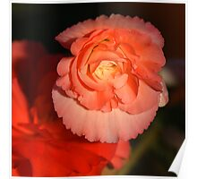 Strongly Pink - Tuberous Begonia Poster