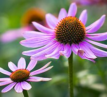 Pink Daisies by Anthony Radogna