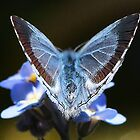 'Angels Wings' - Holly Blue butterfly by Rivendell7