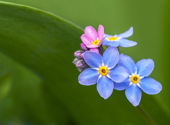 FORGET ME NOT FLOWERS by Sandy Stewart