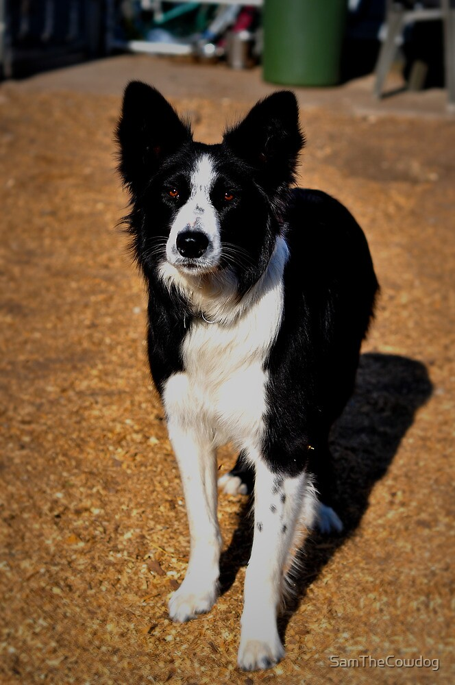 The Border Collie by SamTheCowdog