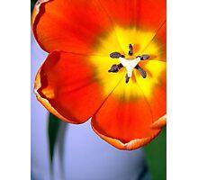 Dazzling Orange Tulip  Photographic Print