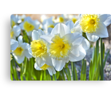 Beautiful Daffodils Canvas Print