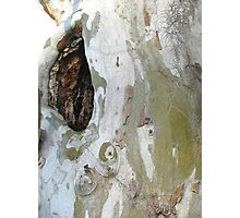 Sycamore wound Photographic Print