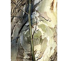 Sycamore sprout Photographic Print