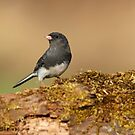 Dark-eyed Junco by Bill McMullen