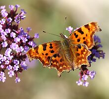 Comma Butterfly Polygonia c-album by Rumyana Whitcher
