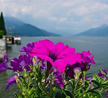 """Magenta Bloom"" Lake Como, Italy by AlexandraZloto"