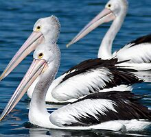Pelicans Three by Kris Montgomery