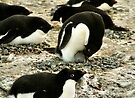 'Get Back in the Warm Chick': Adelie Penguin by Carole-Anne