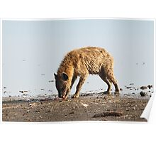 Spotted Hyena Just Finishing Off Its Meal Poster