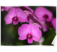 Purple Power: Moth Orchid or Phalaenopsis Poster