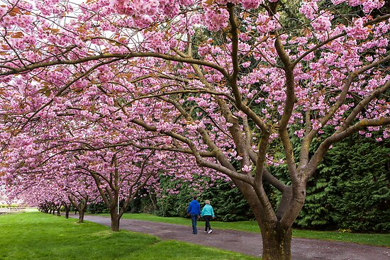 Cherry Tree Blossoms Along Rainier Vista by Jim Stiles