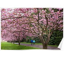 Cherry Tree Blossoms Along Rainier Vista Poster